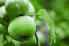 Ljust - gröna äpplen på en filial royaltyfria bilder