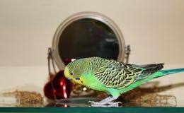 Ljust - gröna ensamma Budgie framme av spegeln Arkivbilder