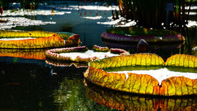Ljust - gröna guling- och apelsinsidor som svävar i ett vattendamm Royaltyfri Bild