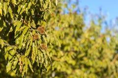 Ljust - gröna kastanjebruna träd i solsken Royaltyfri Foto
