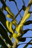 Ljust - gröna larver Fotografering för Bildbyråer