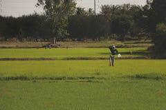 Ljust - gröna Paddy Field med fågelskrämman arkivfoto