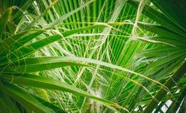 Ljust - gröna palmblad Royaltyfri Foto