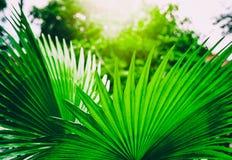 Ljust - gröna smaragdpalmblad, tropisk naturlig bakgrund Arkivbild