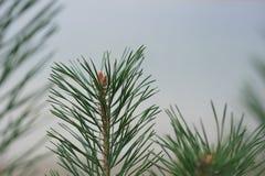 Ljust gröna taggiga filialer av Pine, stänger sig av en gräsplan sörjer upp trädet, bakgrund från filialer av ett naturligt Päls- arkivbild
