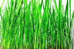 Ljust - grönt gräs på vit bakgrund close upp arkivbild