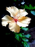 Ljust - gul hibiskusblomma i den utomhus- trädgården arkivbilder