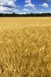 Ljust guld- gult vetefält under djupblått S Arkivbild