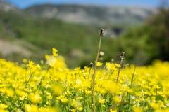 Ljust gult blommafält Fotografering för Bildbyråer