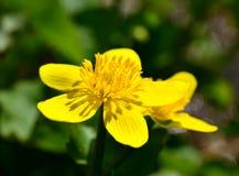 Ljust gult blommaslut upp Royaltyfri Foto