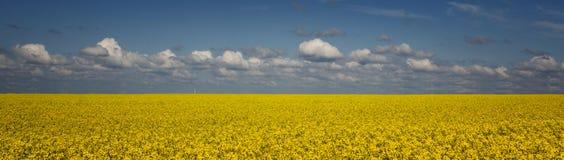 Ljust gult rapsfröfält mot en blå himmel med moln royaltyfria foton