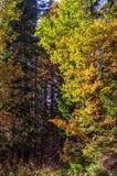 Ljust höstlandskap, gula lönnlöv Royaltyfri Fotografi