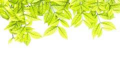 Ljust ljus - gröna tjänstledigheter fjädrar sommarsäsong på vit backgroun Royaltyfria Foton