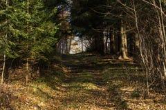 Ljust - naturlig gångbana för grön skog i ljus för solig dag Solskenskogträd Sol till och med skog för skog för livlig gräsplan f Arkivfoton