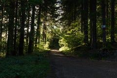 Ljust - naturlig gångbana för grön skog i ljus för solig dag Solskenskogträd Sol till och med skog för skog för livlig gräsplan f Arkivbilder
