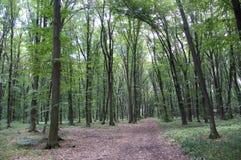 Ljust - naturlig gångbana för grön skog i ljus för solig dag Solskenskogträd Arkivbilder