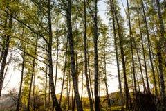 Ljust - naturlig gångbana för grön skog i ljus för solig dag Solskenskogträd Sol till och med skog för livlig gräsplan Arkivfoton