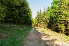 Ljust - naturlig gångbana för grön skog i ljus för solig dag Solskenskogträd Sol till och med skog för livlig gräsplan Arkivbilder