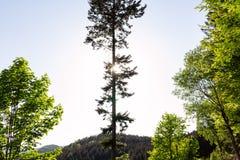 Ljust - naturlig gångbana för grön skog i ljus för solig dag Solskenskogträd Sol till och med skog för livlig gräsplan Royaltyfria Foton