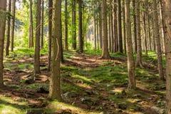 Ljust - naturlig gångbana för grön skog i ljus för solig dag Solskenskogträd Sol till och med skog för livlig gräsplan Royaltyfri Foto