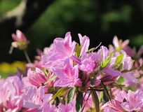 Ljust - purpurfärgade azaleor överst av Bush arkivfoton