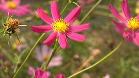 Ljust purpurfärgat kosmos blommar i trädgården som svänger i vind lager videofilmer