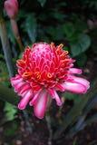 Ljust rödbrun blomma för rosa färgfackla Royaltyfri Fotografi