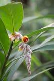 Ljust rödbrun blomningar (för Zingiberofficinale) Arkivfoto