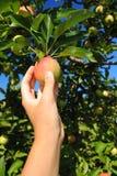 Ljust rödbrun guld- äpple på trädet Fotografering för Bildbyråer