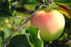 Ljust rödbrun guld- äpple på trädet Royaltyfri Fotografi