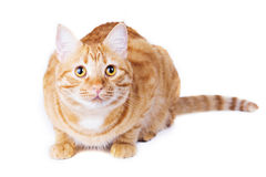 Ljust rödbrun isolerad kattståendestudio Arkivfoton