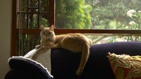 Ljust rödbrun katt arkivfilmer