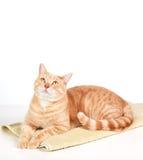 Ljust rödbrun katt. Arkivbilder