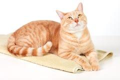 Ljust rödbrun katt. Royaltyfri Foto