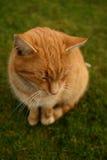 Ljust rödbrun katt Arkivbild