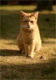 Ljust rödbrun katt Arkivfoton