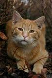 Ljust rödbrun katt Royaltyfri Foto