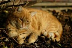 Ljust rödbrun katt Royaltyfri Fotografi