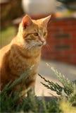 Ljust rödbrun katt Royaltyfria Foton
