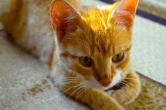 Ljust rödbrun katt Fotografering för Bildbyråer