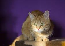 Ljust rödbrun katt Arkivbilder