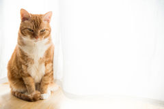 Ljust rödbrun katt Royaltyfria Bilder