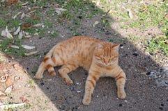 Ljust rödbrun katt i en skugga Arkivfoton
