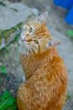Ljust rödbrun katt med en mustasch Fotografering för Bildbyråer