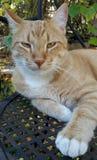 Ljust rödbrun katt med guld- ögon Fotografering för Bildbyråer