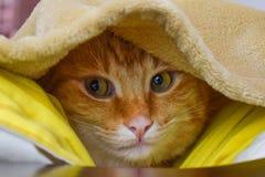 Ljust rödbrun katt som döljas under filten Ljust rödbrun katt för gröna ögon startar kissekatt royaltyfri foto