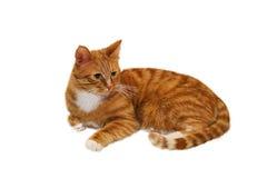 Ljust rödbrun katt som isoleras på vit bakgrund arkivfoton