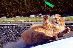Ljust rödbrun leka för katt Fotografering för Bildbyråer