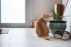 Ljust rödbrun katt som sitter nära blomkrukan och att se fotografering för bildbyråer