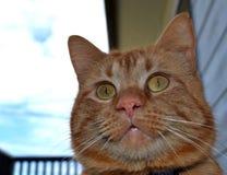 Ljust rödbrun katt som stirrar av in i avståndet Arkivfoto